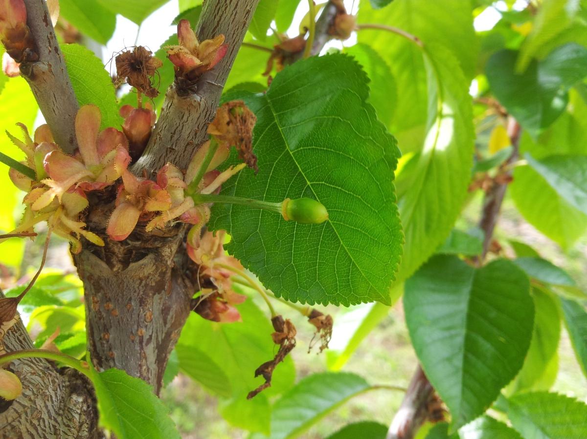 Guía para plantar un cerezo a partir de una semilla de cereza.