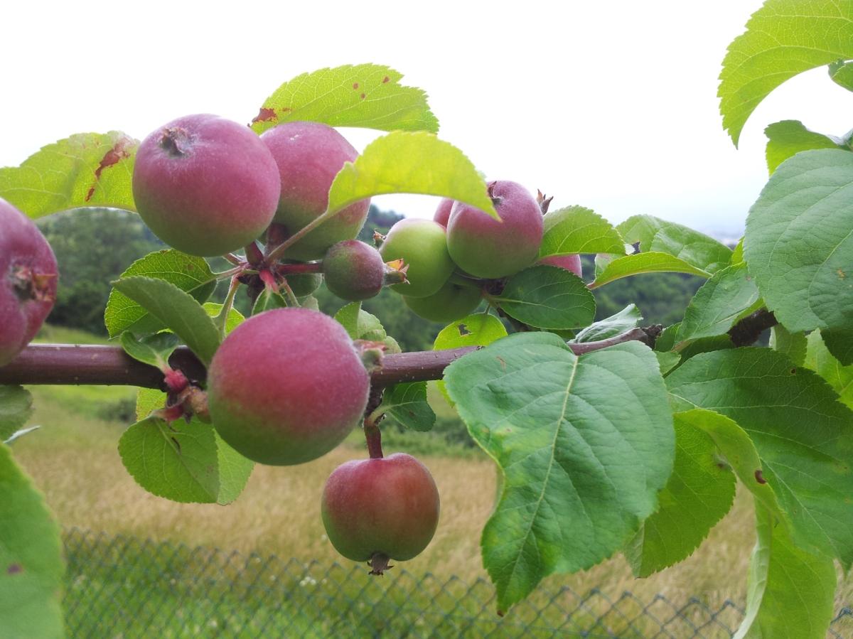 El manzano y la manzana.