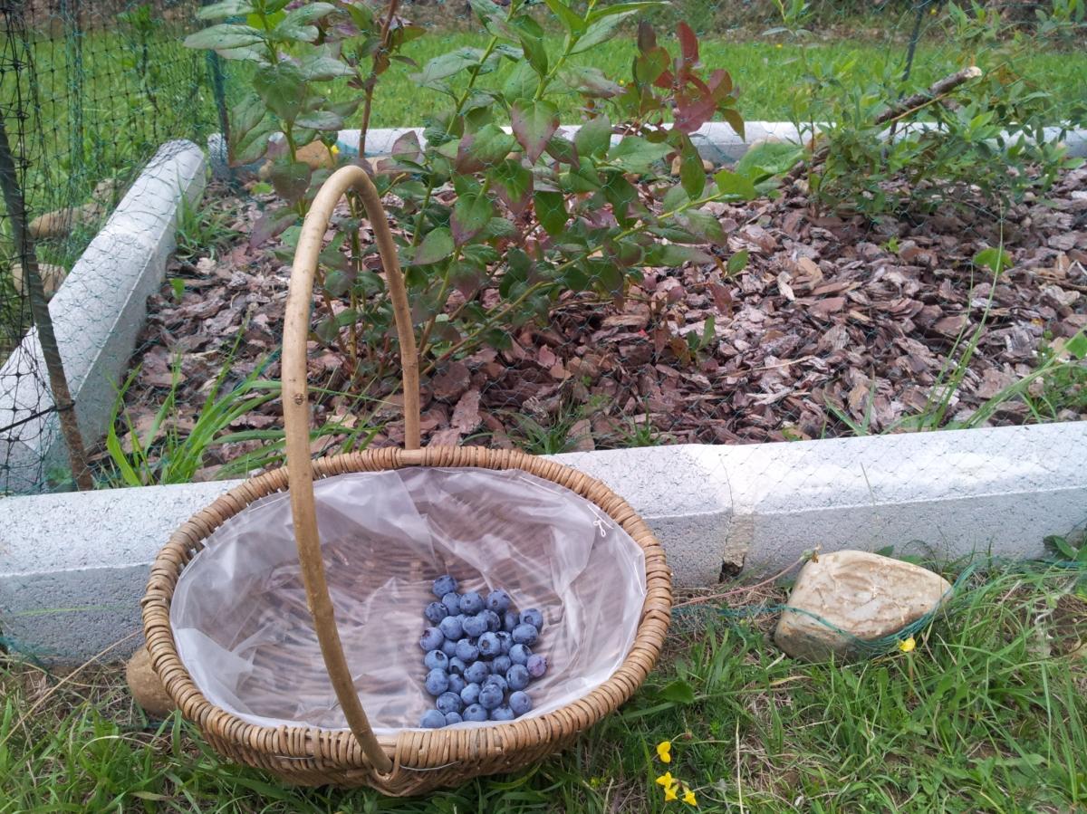 Guía para cultivar arándanos, el fruto silvestre de moda.