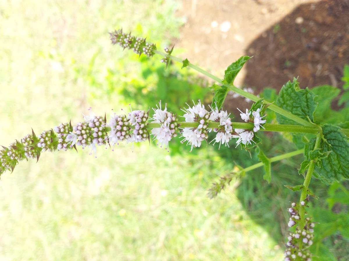 Guía para cultivar aromáticas. Menta y hierbabuena, las frescas del campo.