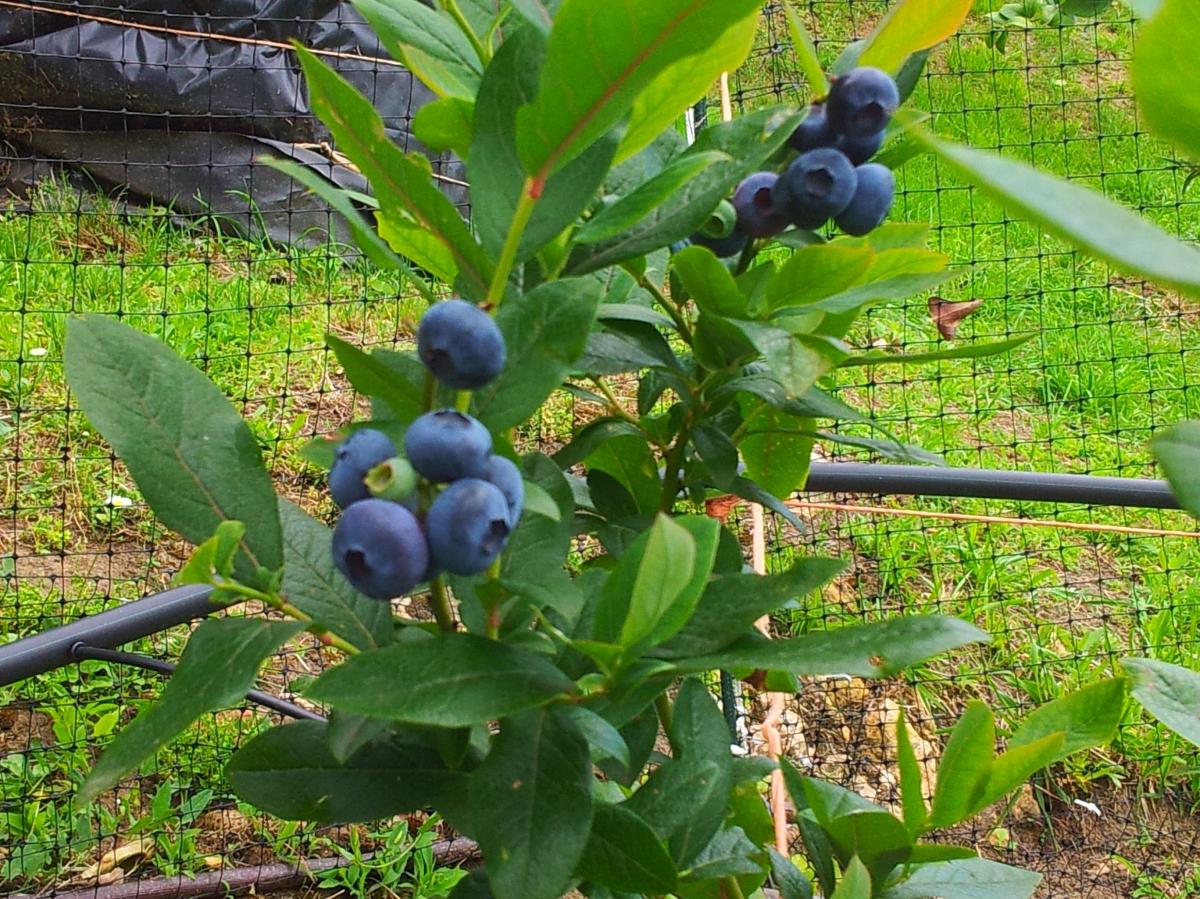 ¿Qué arándanos plantar en Asturias?