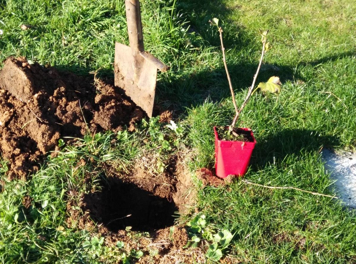 Guía para plantar un grosellero rojo.