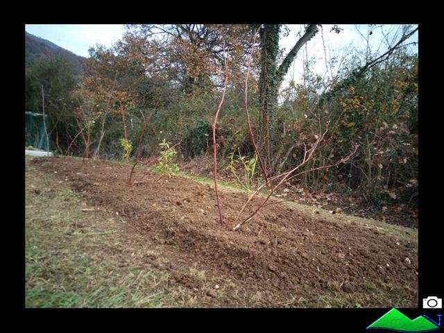 plantación arándanos