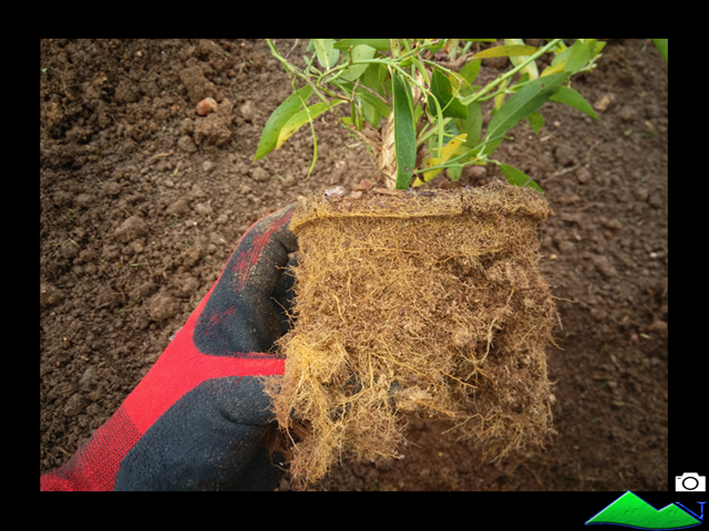 raíces arándanos