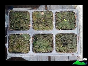 semillero pitahaya