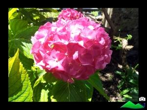 hortensia de flor rosa