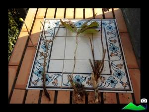 raíces de hortensia