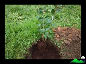 plantar guayaba
