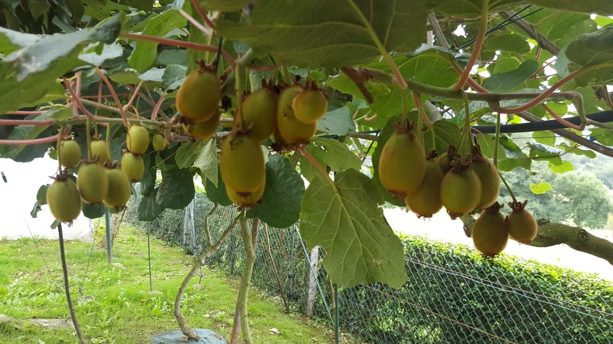 Guía para plantar kiwis en Asturias.