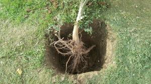raíces de alcornoque