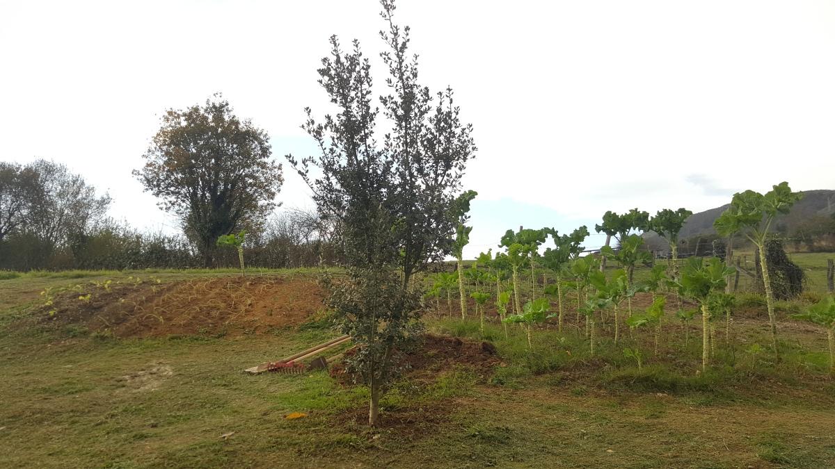 Guía para plantar un alcornoque.