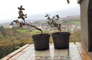 raíces trasplantadas de alcornoque